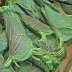 Perilla leaves