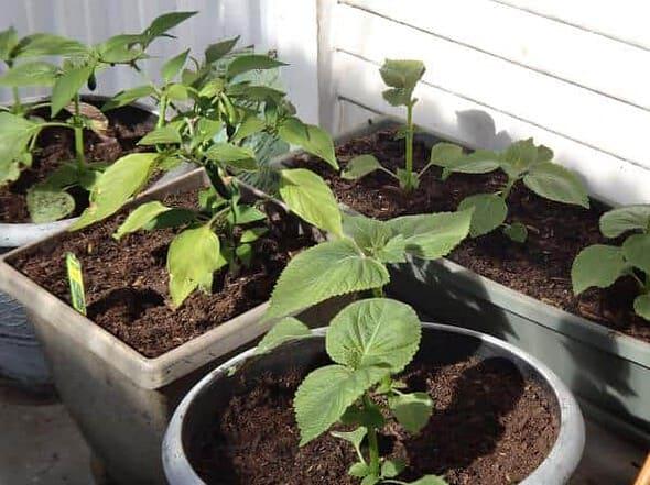 growing Korean vegetables